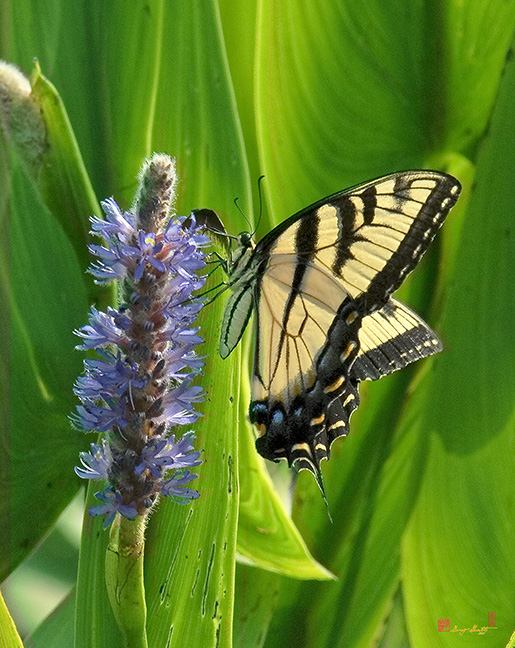 Eastern Tiger Swallowtail Butterfly Photograph