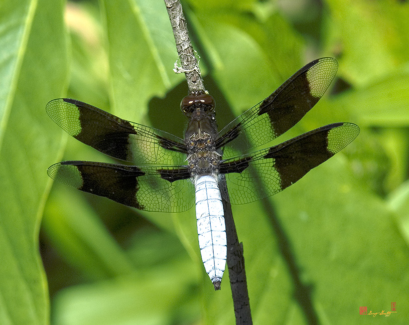 Common Whitetail Dragonfly Photograph