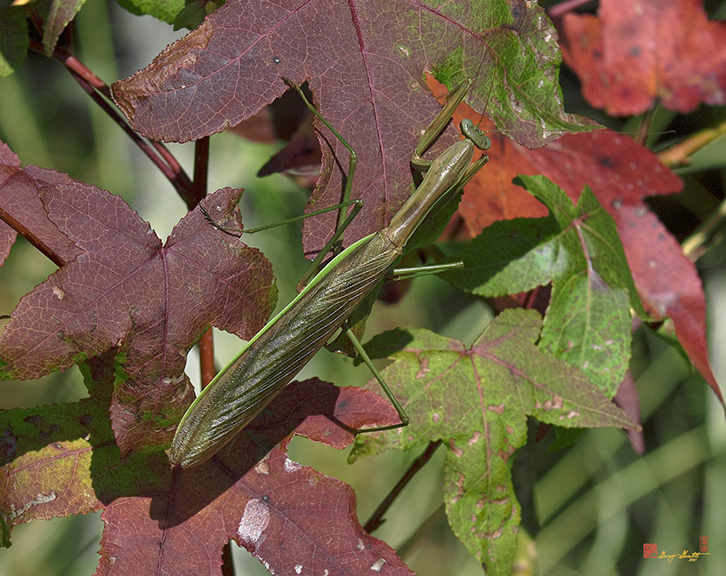 Chinese Mantis and Sweetgum Photograph