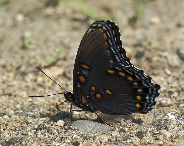 Red-spotted Purple Photograph