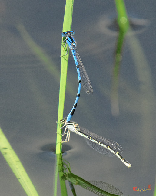 Seepage Dancer Damselflies Photograph