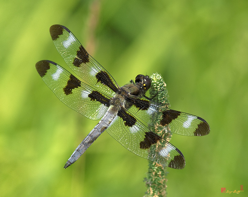 Twelve-spotted Skimmer Photograph