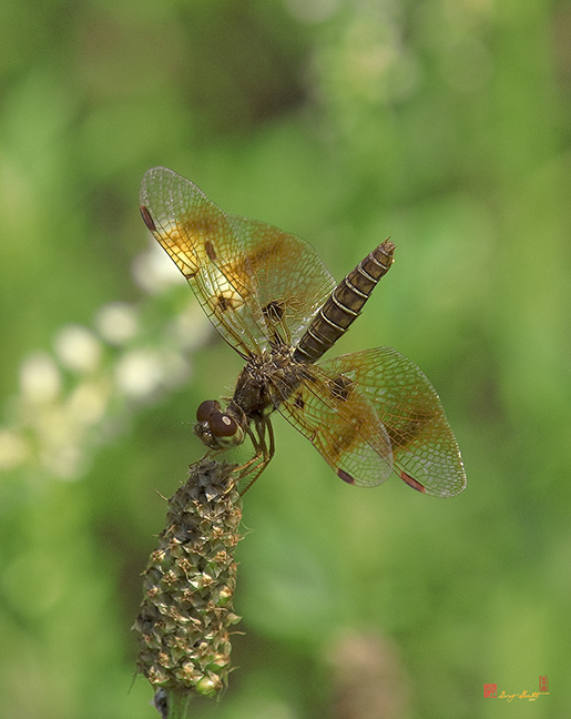 Female Eastern Amberwing Dragonfly Photograph