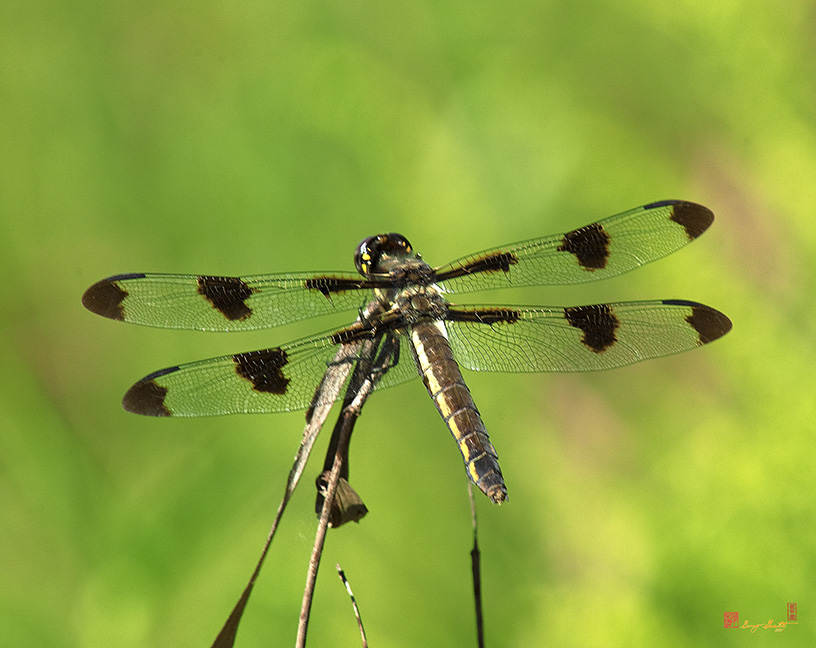 Female Twelve-spotted Skimmer Photograph
