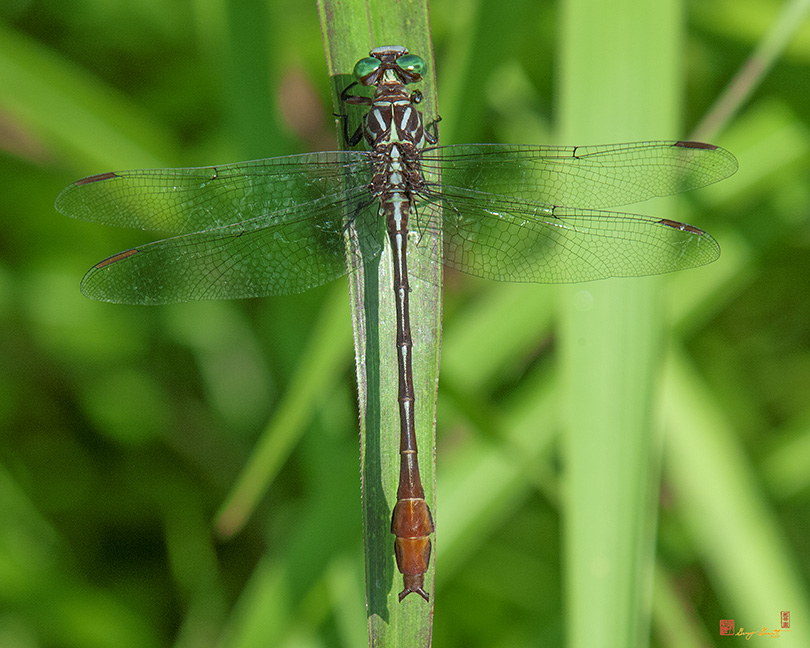 Clubtail Dragonfly Photographs