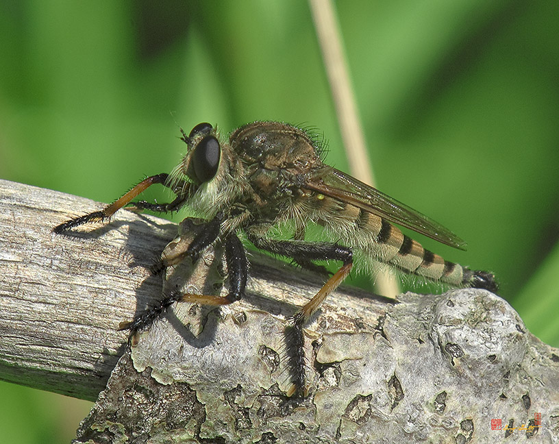 Red-footed Cannibalfly or Bee Panther Robber Fly Photograph