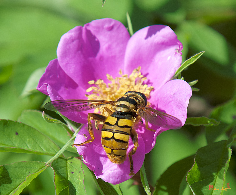 Hover or Flower Flies Photographs
