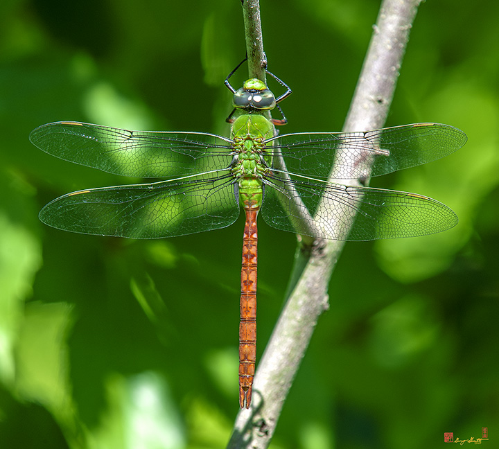 Anax Darner Dragonflies Photographs