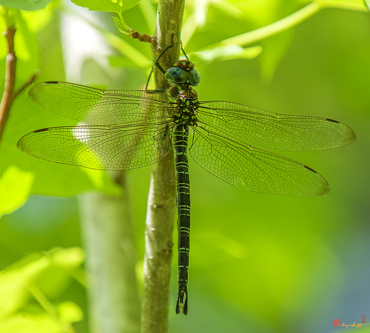 Swamp Darner Dragonfly Photographs