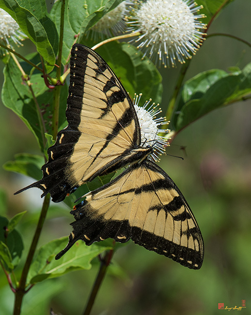 Eastern Tiger Swallowtail Photograph
