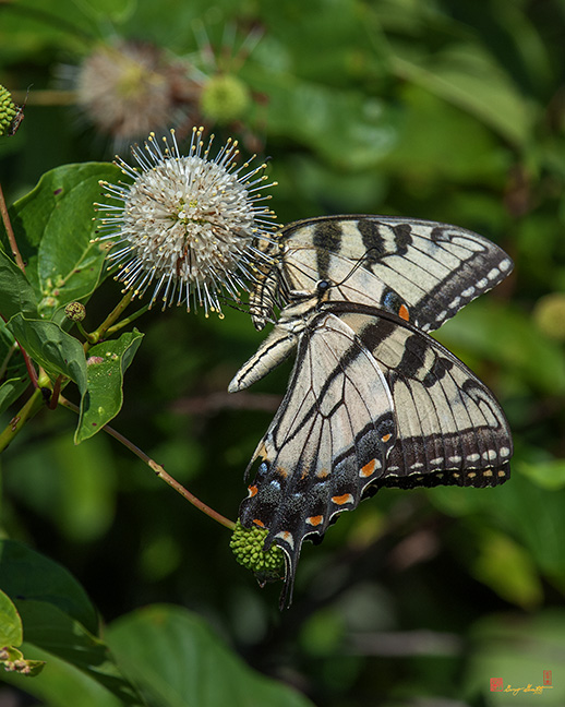 Eastern Tiger Swallowtails Photograph