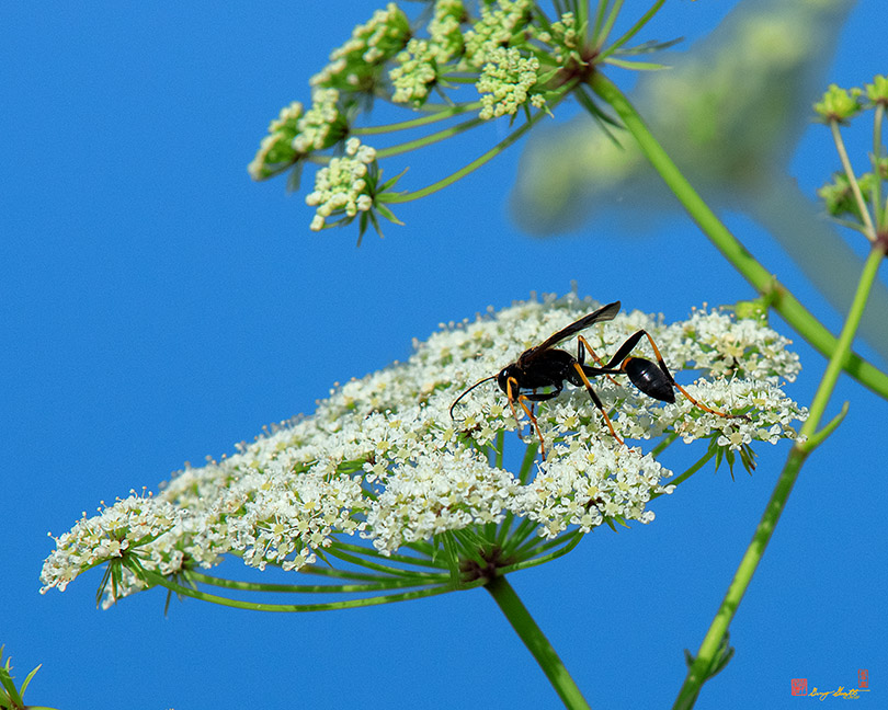 Mud Dauber Photographs