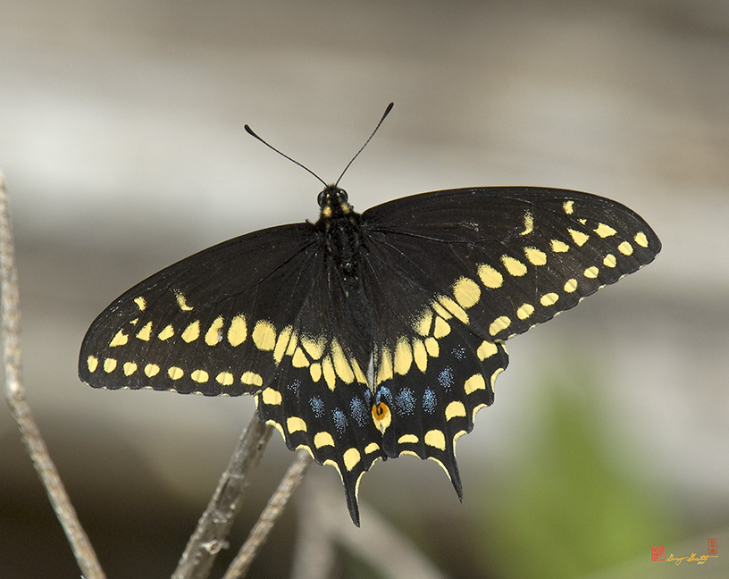 Black Swallowtails Photographs