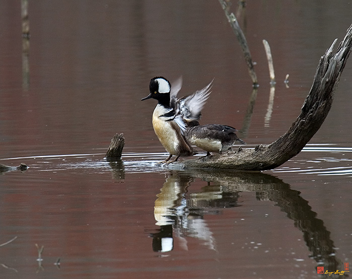 Hooded Mergansers Photograph