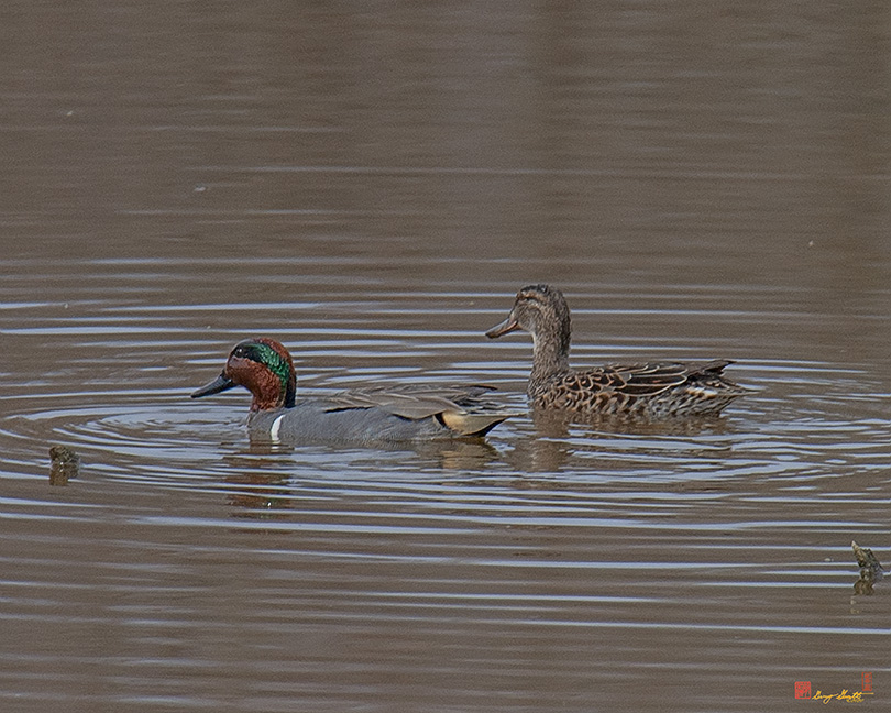 Green-winged Teal Photograph