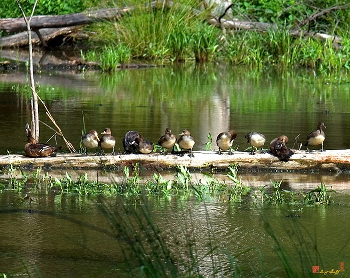 Hooded Merganser Family Photograph