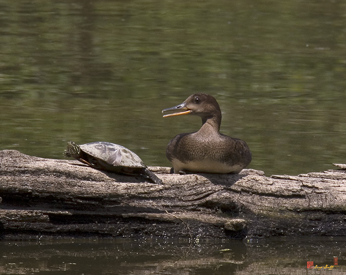 Hooded Merganser and Turtle Photograph