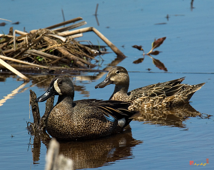 Blue-winged Teal Photographs