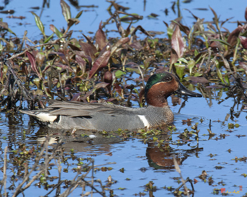 Male Green-winged Teal Photograph
