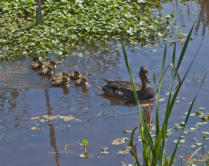 Black Duck Family Photograph