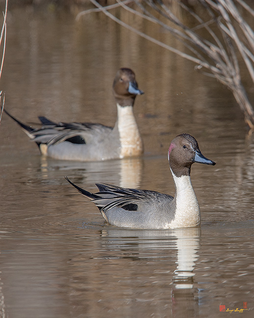 Male Northern Pintails Photograph
