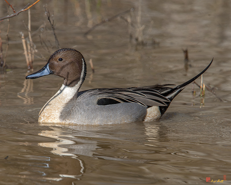 Male Northern Pintail Photograph