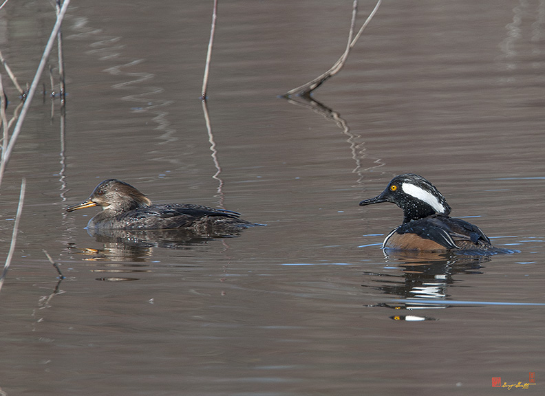 Hooded Merganser Pair Photograph