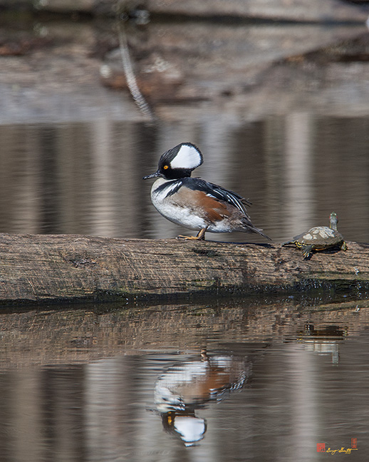 Male Hooded Merganser Photograph