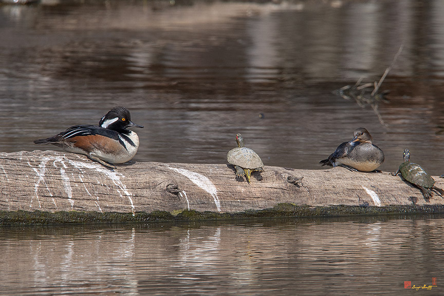 Hooded Merganser Pair Resting Photograph