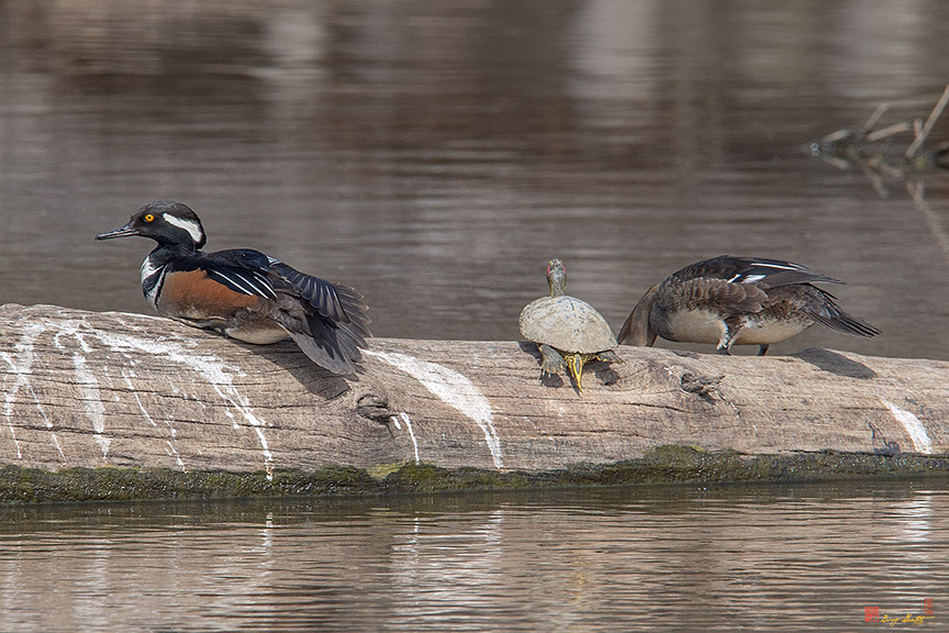 Hooded Merganser Pair Rest Over Photograph