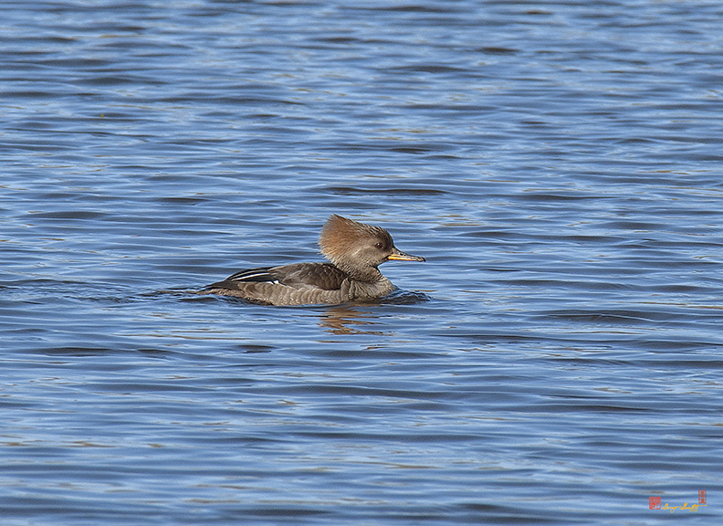 Female Hooded Merganser Photograph
