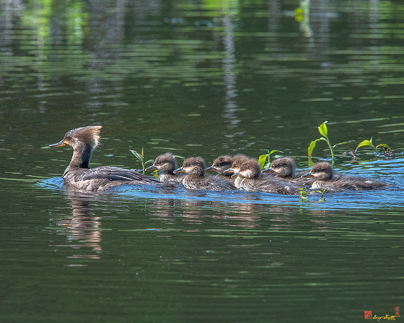 Hooded Merganser and Her Ducklings Photograph
