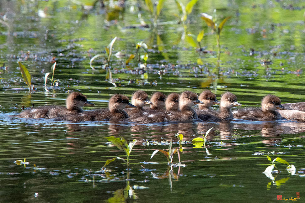 Hooded Merganser Ducklings Photograph