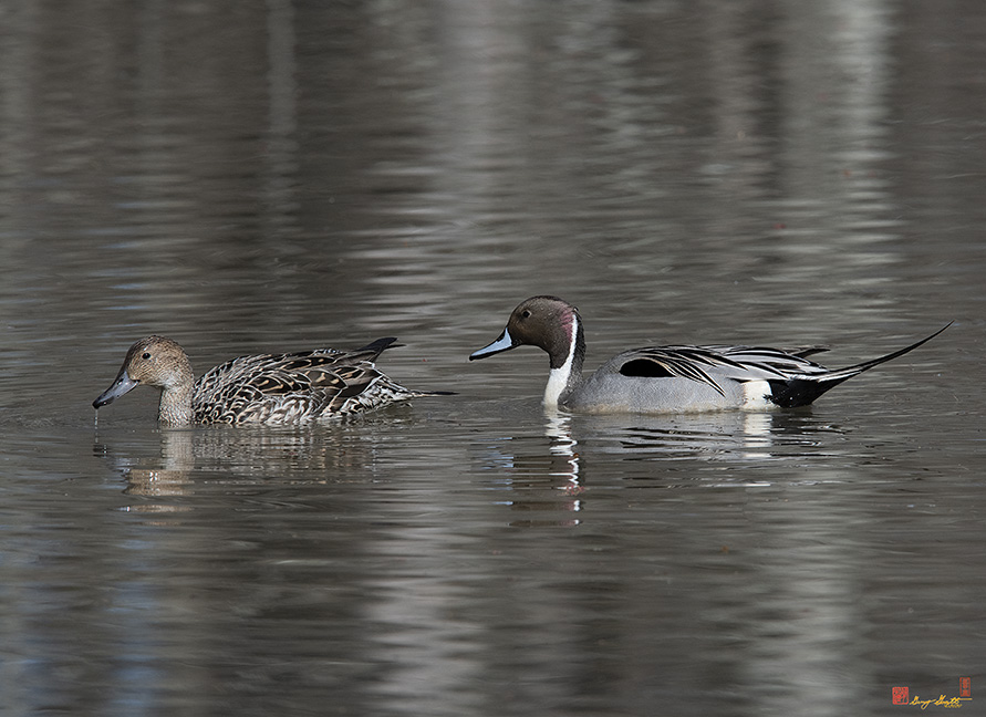 Male and Female Northern Pintails Photograph