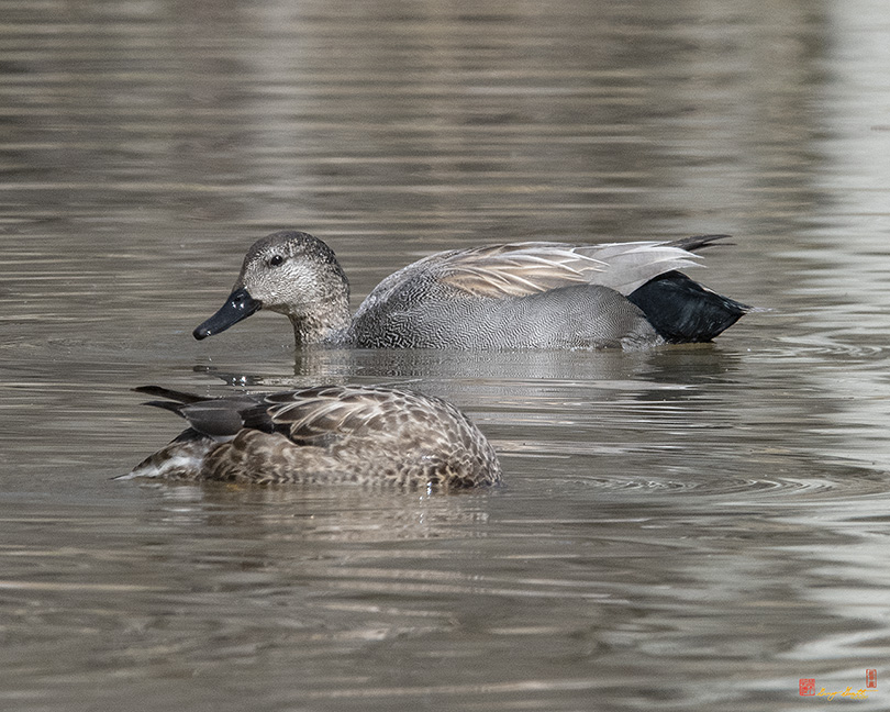Male and Female Common Gadwalls Photograph