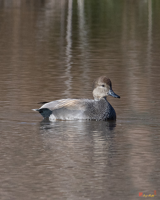 Male Common Gadwall Photograph